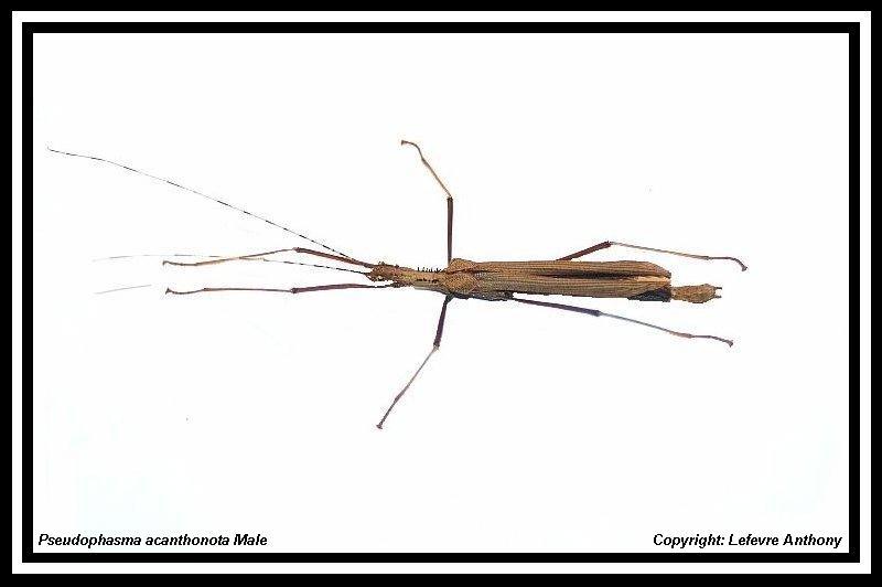 Pseudophasma acanthonota (P.S.G n°189) Pseudo18