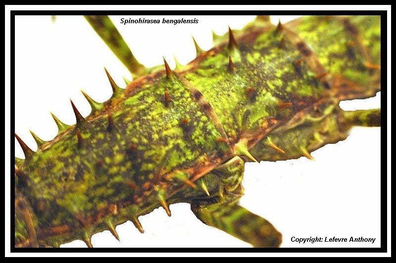 Spinohirasea bengalensis (P.S.G n°272) Spinoh14
