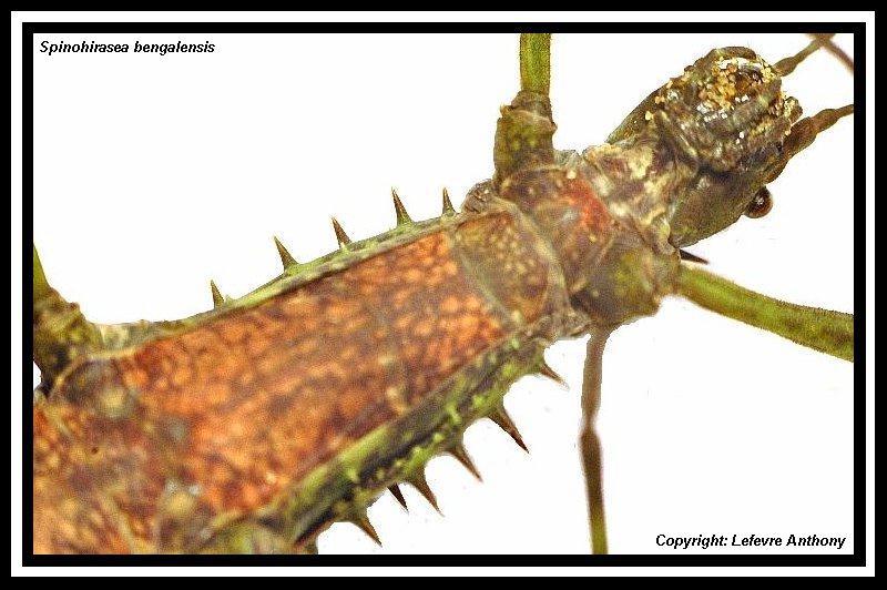 Spinohirasea bengalensis (P.S.G n°272) Spinoh15