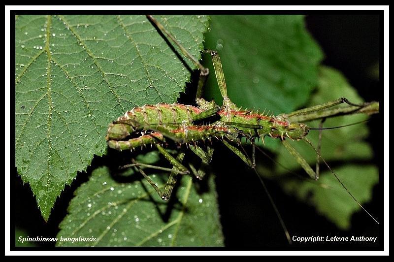 Spinohirasea bengalensis (P.S.G n°272) Spinoh16