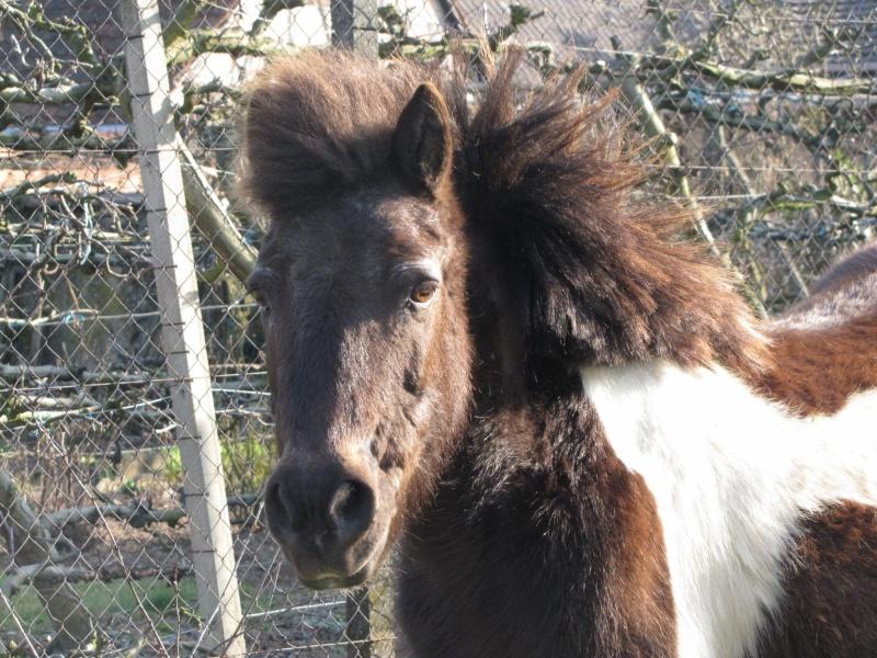 Gelinotte de l'Espoir - Ponette Shetland - née en 1992 (Princesse_67) 06_03_13