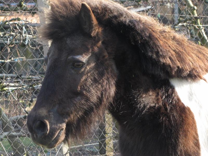 Gelinotte de l'Espoir - Ponette Shetland - née en 1992 (Princesse_67) 06_03_14