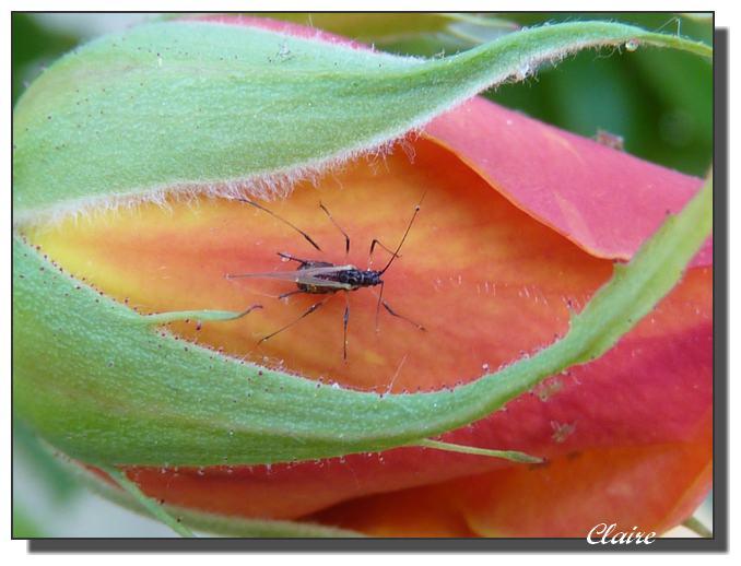 insecte sur bouton de rose :qu'est-ce ? 28_04_13