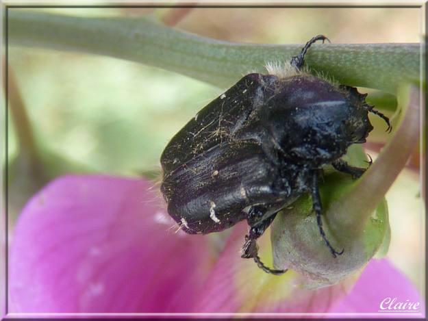 Insecte sur un pois de senteur sauvage. 2a10