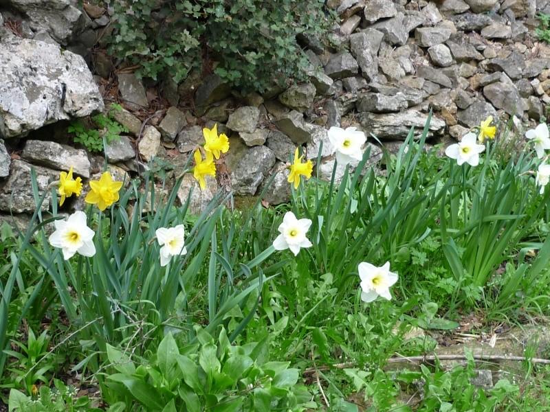 Narcisse orangerie et tulipe varié. Jardin13