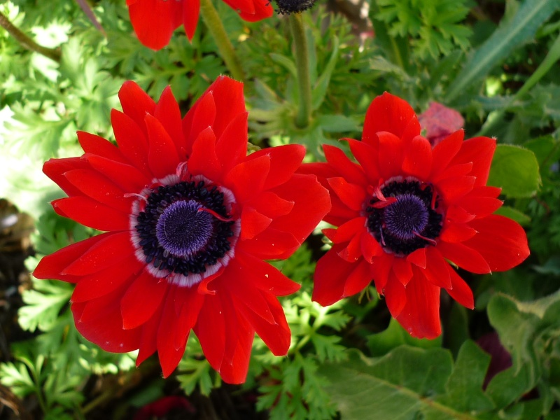 Narcisse orangerie et tulipe varié. Jardin16
