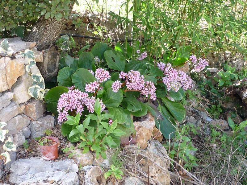 Narcisse orangerie et tulipe varié. Jardin18