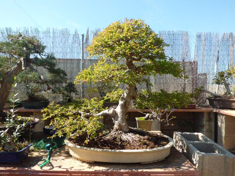 Ulmus Parvifolia 5 years progression - Page 4 Rio_0510