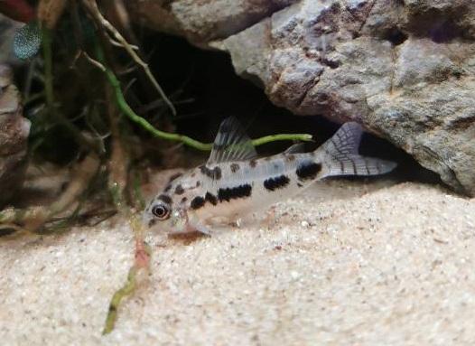 Corydoras queue grignotée et couleurs pâles 1_jfif10