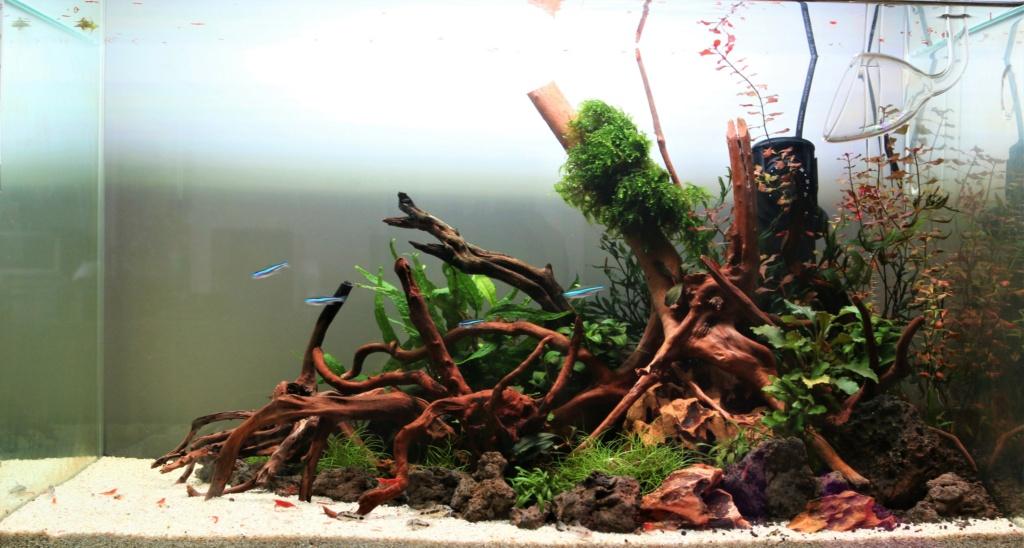 Retour dans l'aquariophilie - Suite avec un bac de 60L 29_08_10
