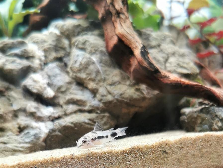 Corydoras queue grignotée et couleurs pâles 4_jfif10