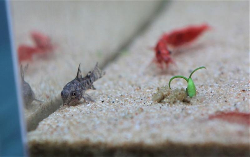 Confirmation espèce Corydoras Img_6911