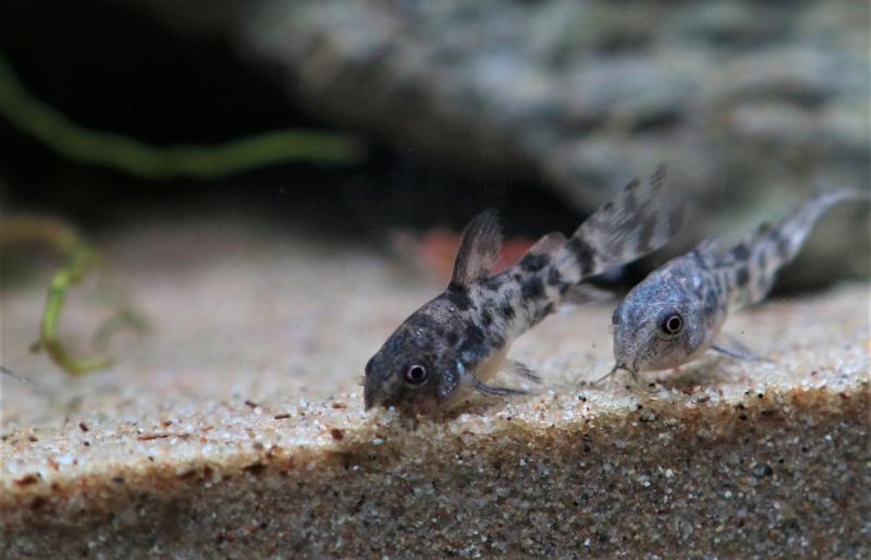 Confirmation espèce Corydoras Img_7012