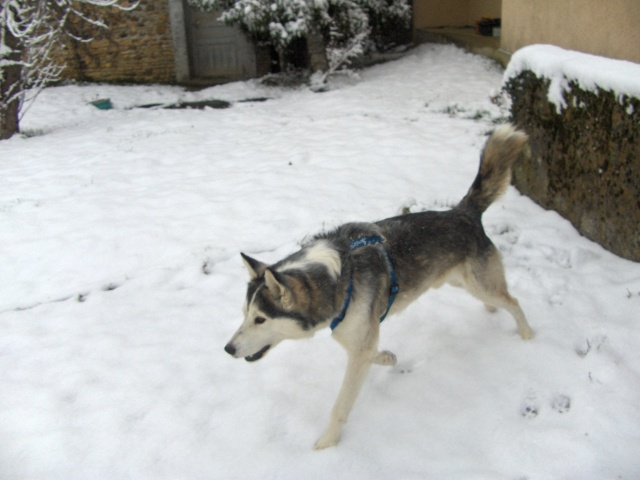 Perdu POTT - husky mâle - Haute Garonne Hpim4212