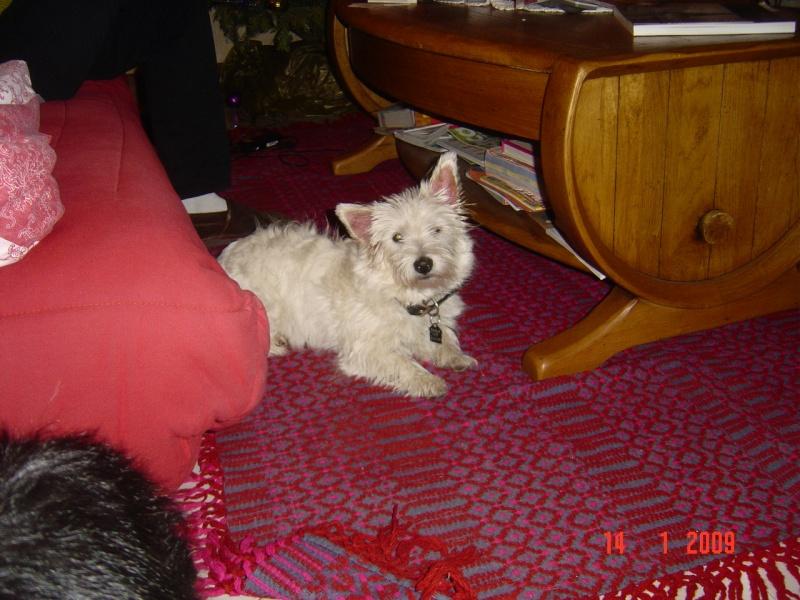 Dixie, westie femelle de 7 mois en RP Dsc05714