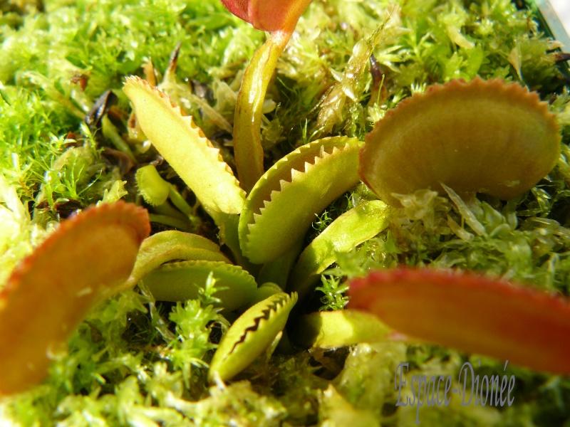 Dionaea Muscipula 'Dentate' P1040518