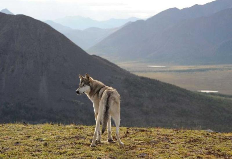 Les loups...... Loup110