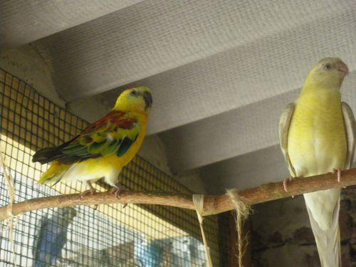 Mes perruches (1 an après) Imgp4611