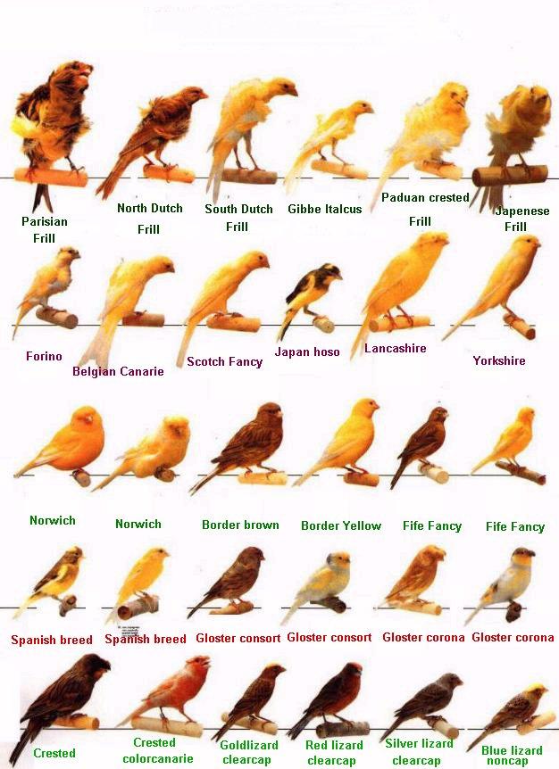طيور الكناري موسوعة شامله وبكل ما يتعلق بالكناري وصوره والتزاوج والتفريخ  75694211