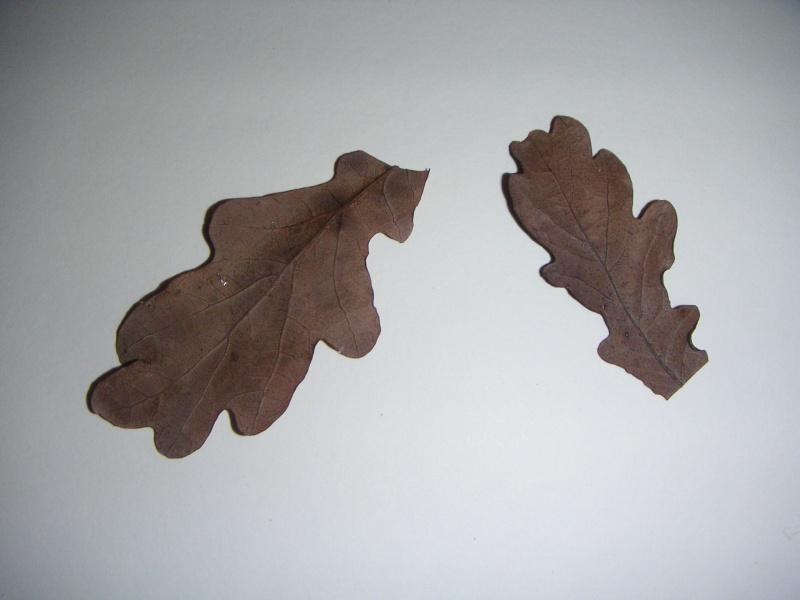 vieille feuille de chêne(risque de champignon dans l'eau?) Pict0012