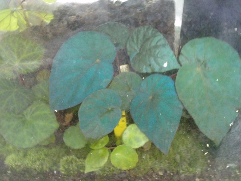 Begonia pavonina (rhizomateux) Bagoni11