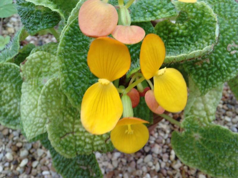 Begonia microsperma (rhizomateux) Begoni14