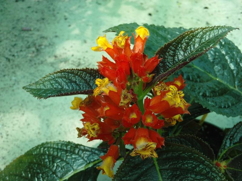 Autres fleurs de gesnériaceae Chryso10