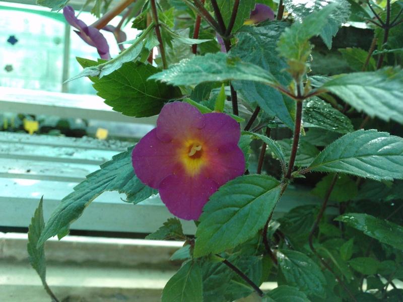 Autres fleurs de gesnériaceae Fleurs12