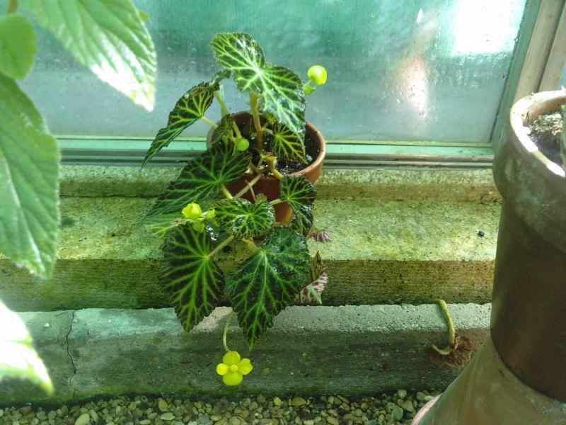 Begonia pearcei (tubéreux) P1909110