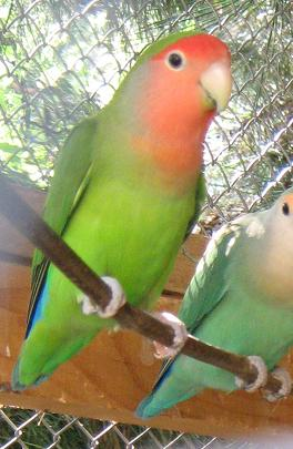 Moje ptice Zeleni10