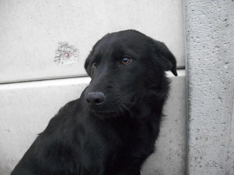 DARIK (mâle croisé labrador) Milan_19