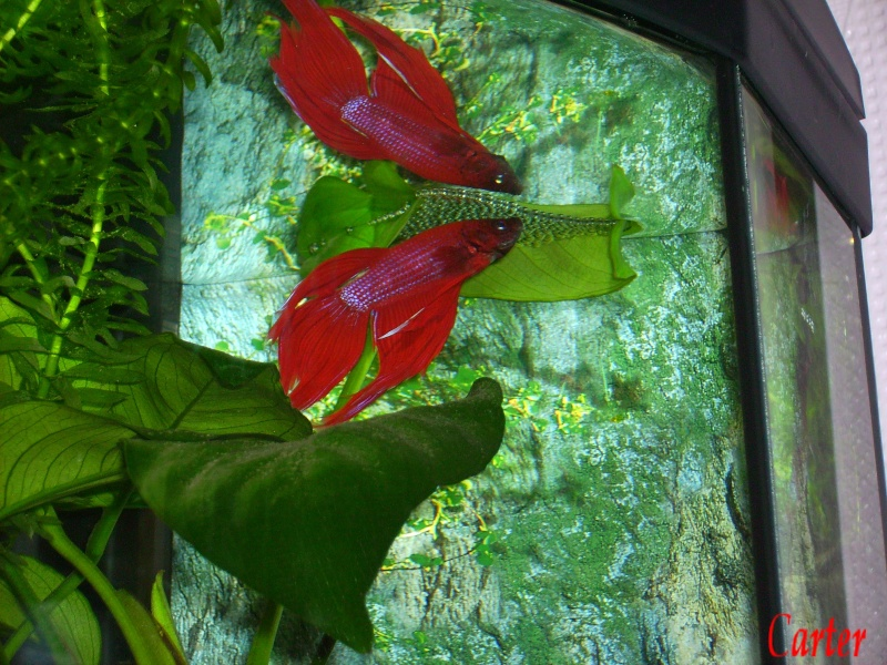 Betta Splendens : Pict0313