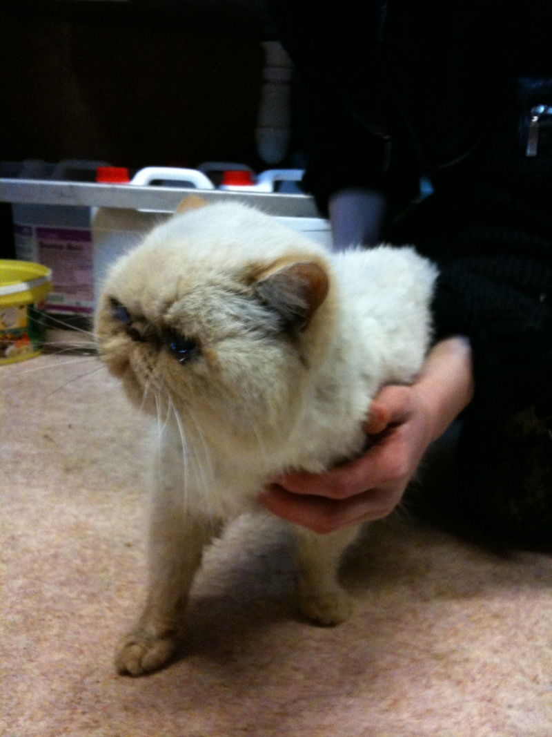 Trouvé chat persan baptisé BOOMERANG Boomer12