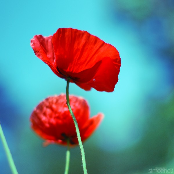 †. Ténèbres Poppy_10