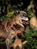 Les loups jouent et se racontent des blagues