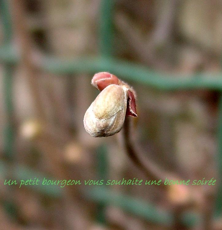 Dans l'attente du printemps ... Les bourgeons 01010117