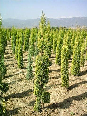 صور بعض أنواع الأشجار الموجودة في اقليم افران 65184011