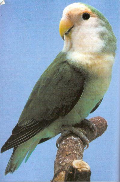 LOVE BIRDS Blue_o10