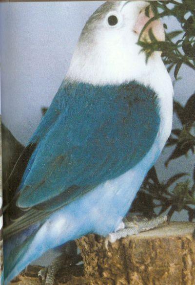 LOVE BIRDS Fisher10