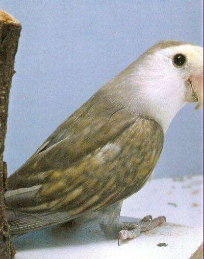 LOVE BIRDS Hybrid12