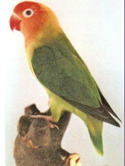 LOVE BIRDS Lilian10