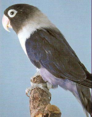 LOVE BIRDS Masked10
