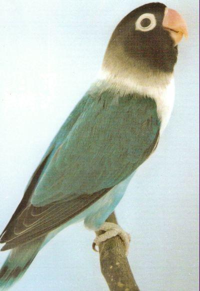 LOVE BIRDS Masked11