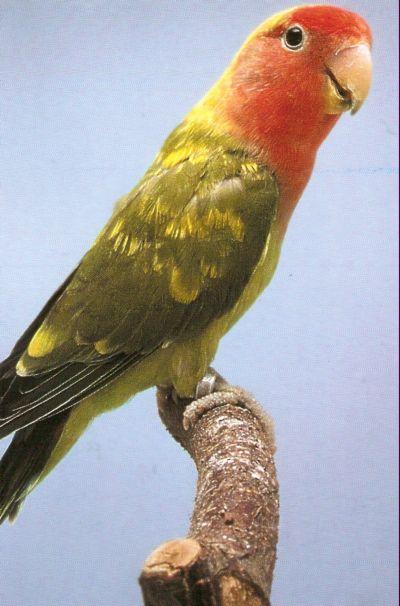 LOVE BIRDS Orange10