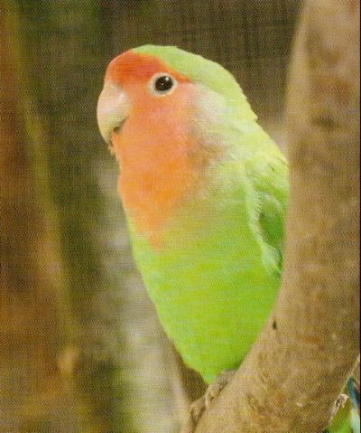 LOVE BIRDS Peach_10