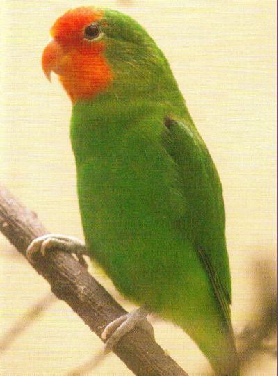 LOVE BIRDS Red_fa10