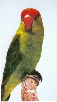 LOVE BIRDS Tarant10