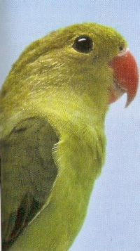 LOVE BIRDS Tarant11