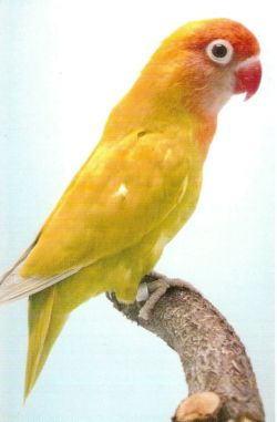 LOVE BIRDS Yellow10