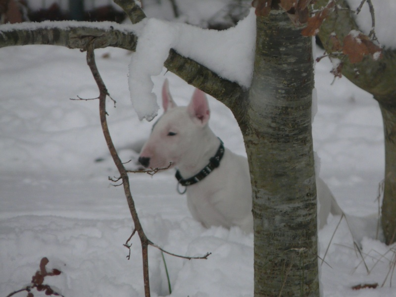 LE BULL TERRIER - Page 2 P1020740